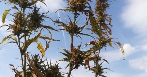 VIDEO. Plantaţie uriaşă de cannabis descoperită de DIICOT. Traficanţii au înfiinţat cultura pe 6 hectare