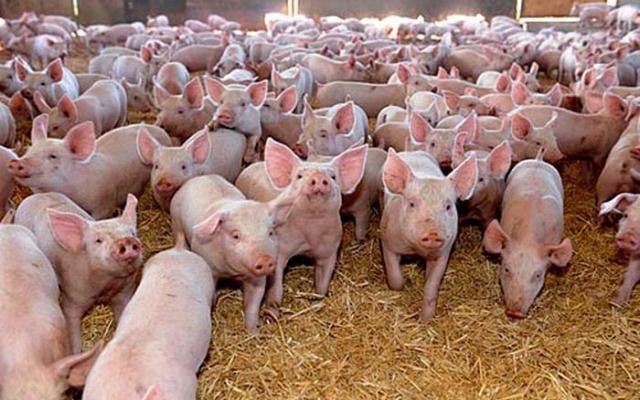 Ajutor financiar pentru crescătorii de porci. Subvenţia este de până la 100.000 de euro/fermă